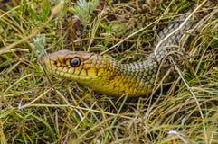 Gelb-aufgeblähte Schlange Stockbild