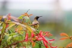 Gelb-aufgeblähte sunbird Tierwild lebende tiere bunten Vogels, die an halten lizenzfreies stockbild