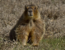 Gelb aufgeblähtes Marmott Lizenzfreies Stockfoto