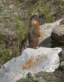 Gelb aufgeblähtes Murmeltier, das auf einem Felsen steht Stockbild