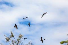 Gelb-Berechnen-Drachen Eagle Birds Hunting Lizenzfreie Stockfotografie