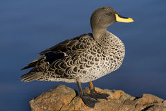 Gelb-berechnete Ente Stockfoto
