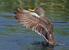 Gelb-berechnete Ente Stockbilder