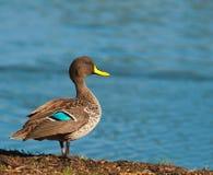 Gelb berechnete Ente nahe bei Verdammung Lizenzfreie Stockbilder