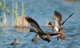 Gelb berechnete Ente ungefähr zum Land auf einer Verdammung Lizenzfreie Stockfotos