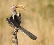 Gelb berechnete Hornbill Lizenzfreies Stockfoto