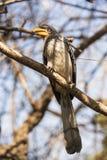 Gelb-berechneter Hornbill Stockfotografie