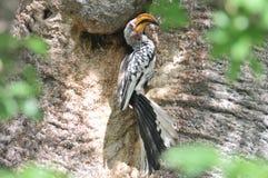 Gelb-berechneter Hornbill Stockfoto