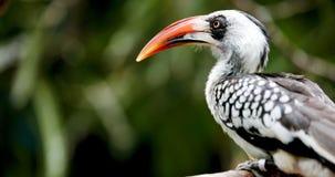 Gelb berechneter Hornbill, der auf Baum sitzt Lizenzfreie Stockbilder