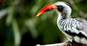 Gelb berechneter Hornbill, der auf Baum sitzt Stockbilder
