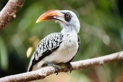 Gelb berechneter Hornbill, der auf Baum sitzt Stockbild