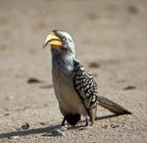 Gelb berechneter Hornbill, der aus den Grund geht Stockbilder