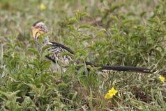 Gelb berechneter Hornbill in Kruger-Park stockbild