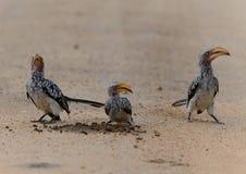 Gelb berechneter Hornbill in Kruger-Park stockfotografie
