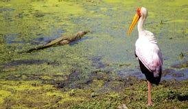 Gelb berechneter Storch mit kleinem Krokodil Stockfotografie