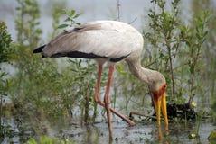 Gelb-berechneter Storch, Selous Spiel-Vorbehalt, Tanzania Stockbilder