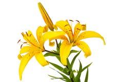 Gelb beschmutzte Lilie Stockfotos