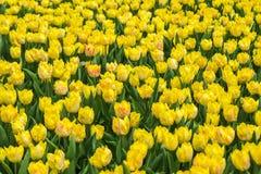 Gelb beschmutzte Tulpen auf natürlichem Blumenhintergrund stockfoto