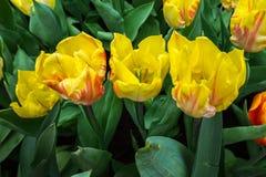 Gelb beschmutzte Tulpen auf natürlichem Blumenhintergrund lizenzfreie stockfotografie