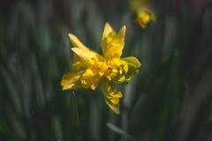 Gelb beuty auf einem Frühling daylayght Gebiet stockfotografie