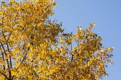Gelb-Blätter auf Wipfel Stockfotografie