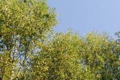 Gelb-Blätter auf Wipfel Lizenzfreie Stockfotos