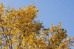 Gelb-Blätter auf Wipfel Stockfotos