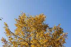 Gelb-Blätter auf Wipfel Lizenzfreies Stockfoto