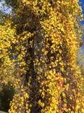 Gelb-Blätter, die unten von einem Baum baumeln lizenzfreies stockbild