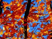 Gelb-Blätter und blauer Himmel des freien Raumes Stockbild