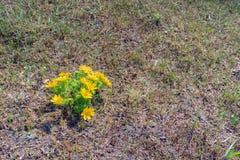 Gelb blüht Adonis-vernalis mit grünen Blättern Stockfotografie