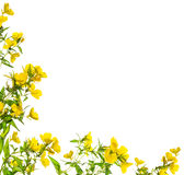 Gelb blüht die Blumeneckzarge, lokalisiert Stockbild
