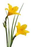 Gelb blüht Hemerocallis Lizenzfreies Stockfoto