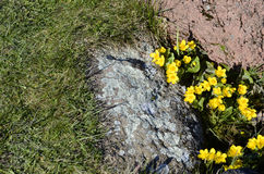 Gelb blüht Marsh Marigold stockfoto