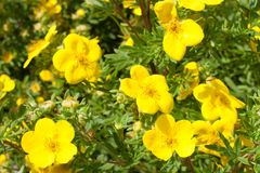 Gelb blüht Potentilla fruticosa goldfinger in der Natur tapete Stockbilder