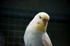 Gelb-blauer gewellter Papagei auf einem dunkelgrünen natürlichen Hintergrund Stockbilder