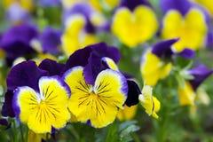 Gelb-blaues heartsease Lizenzfreies Stockfoto