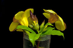 Gelb-Blume auf dem Glas Stockfotos