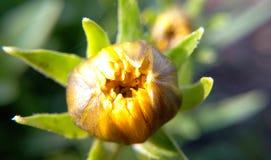 Gelb-braune Blume in der Sommernahaufnahme eines unscharfen grünen backgr Stockfotografie