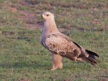 Gelb-brauner Adler Lizenzfreies Stockbild