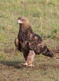 Gelb-brauner Adler Lizenzfreie Stockfotografie