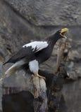 Gelb-brauner Adler Stockbilder