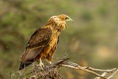Gelb-brauner Adler Lizenzfreie Stockbilder