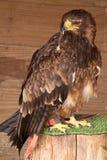 Gelb-brauner Adler Stockfoto