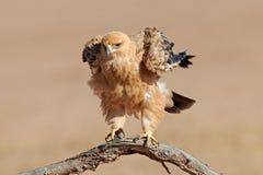 Gelb-brauner Adler Stockfotografie