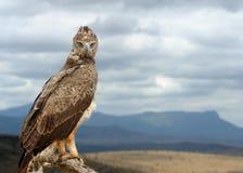 Gelb-brauner Adler Lizenzfreies Stockfoto
