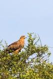Gelb-brauner Adler in Afrika Stockbild