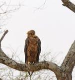 Gelb-brauner Adler Aquila-rapax Lizenzfreie Stockbilder