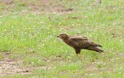 Gelb-brauner Adler Aquila-rapax Stockbild