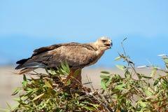 Gelb-brauner Adler Aquila-rapax Lizenzfreie Stockfotografie